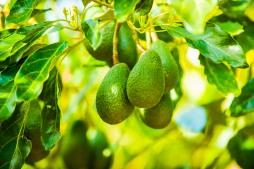 Our Garden - Fruit Tree, Avocado