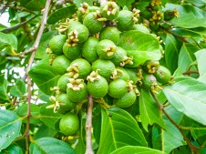 Our Garden - Fruit Tree, Guavas