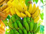 Our Garden - Fruit Tree, Banana