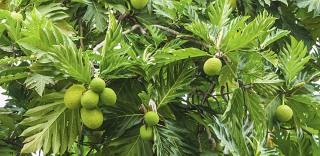 Our Garden - Fruit Tree, Bread Fruit