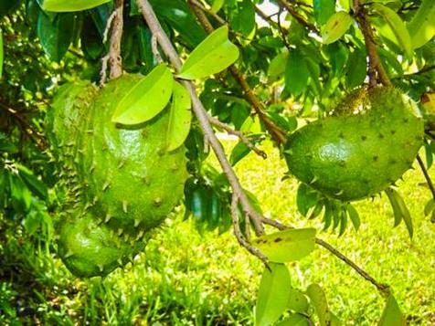 Our Garden - Fruit Tree, Sour sop