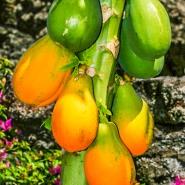 Our Garden - Fruit Tree, Payaya