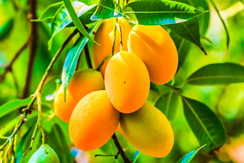 Our Garden - Fruit Tree, Mango