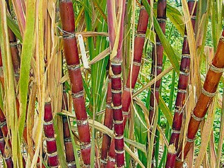Our Garden - Fruit Tree, sugar cane