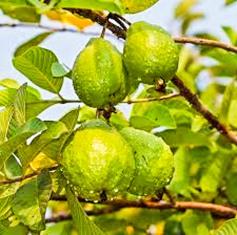 Our Garden - Fruit Tree, Guava