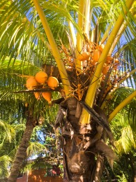 Our Garden - Fruit Tree,Coconut