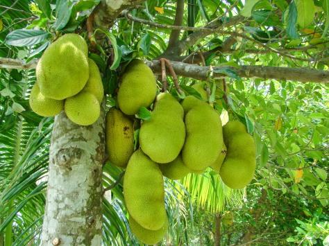 Our Garden - Fruit Tree, Jack Fruit